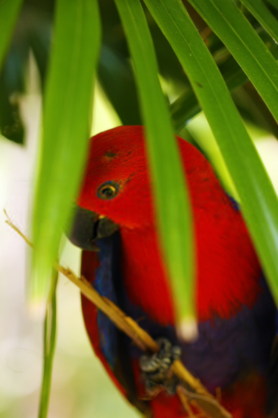 Eclectus parrot with cage