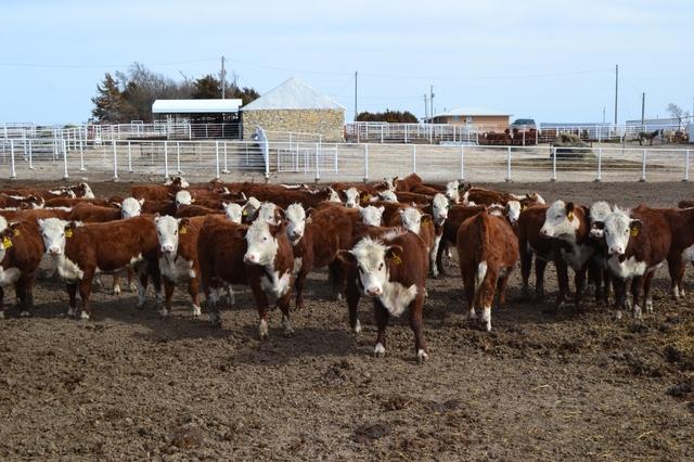 Polled Hereford Heifers