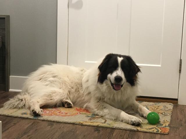 Livestock Guardian Dog/Guard Dog